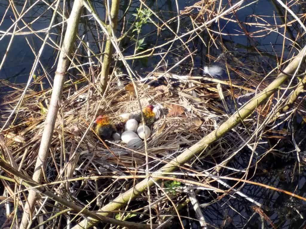 Ei Voor In De Tuin.Meerkoetjes In De Tuin Botanische Tuin Zuidas